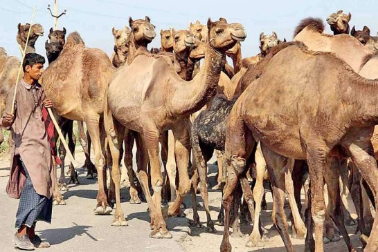 Ship of desert in danger: Camels count came down in Barmer