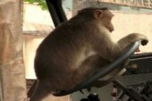 Monkey driving bus in India, Driver lost job in Davanagere